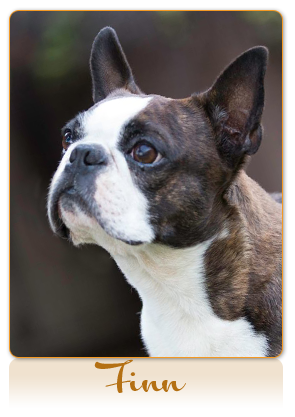 Caramuru Kennel :: Boston Terriers and French Bulldogs :: Northern