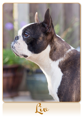 Related Pictures boston terrier or french bulldog wearing knitted frog ...
